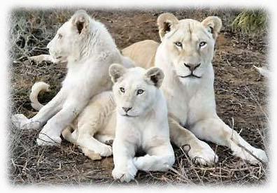 Lions wallpaper download