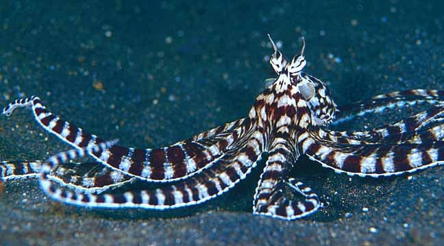 The March award for awesome animal goes to THE MIMIC OCTOPUS | ZME ...