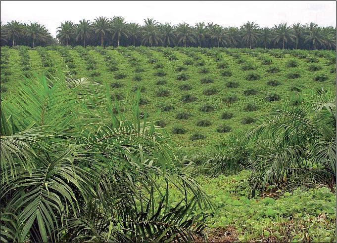Young oil palm in plantation in Indonesia. The mature plant is used to produce biofuels, an alternative clean energy in emissions, however thousands of hectars of rainforest have been swept to make way for the palm. Because oil palms don't absorb as much CO2 as the rainforest or peatlands they replace, palm oil can generate as much as 10 times more carbon than petroleum. (Photo: T. Durand-Gasselin)