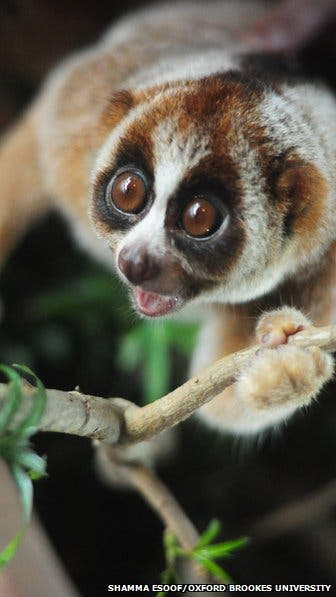 The newly identified species of slow loris, Nycticebus kayan. (c) Shamma Esoof
