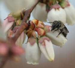 Photo of small native bee species Andrena bradleyi on a highbush blueberry flower. Click to enlarge. (Photo credit: Hannah Burrack.)