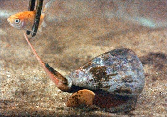 Cone snail snatching a goldfish. Photo: Bionews