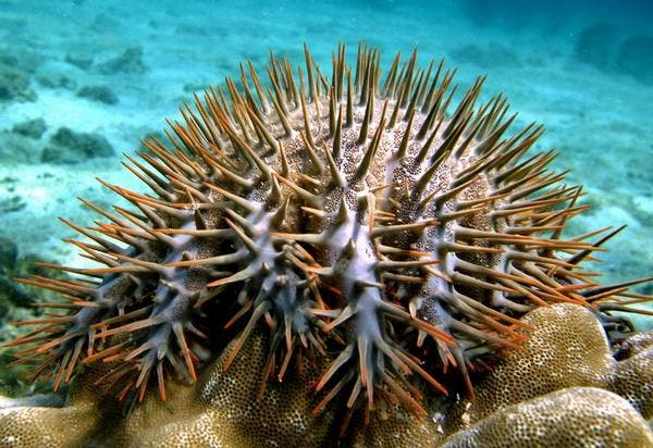 Bristling with lethal toxin-tinged spikes, a multi-armed creature is threatening the Great Barrier Reef.