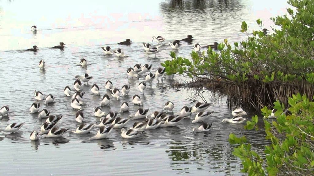 American Avocets feeding and vocalizing among Mangroves at the Merritt Island National Wildlife Refuge. The Cruickshanks played a key role in the establishment of Merritt Island National Wildlife Refuge.