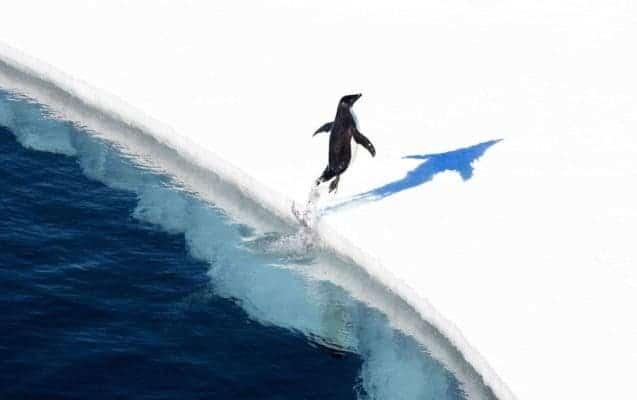 Adélie penguin shortly after a dip in the Ross Sea. Credit; Credit John Weller/Antarctic Ocean Alliance
