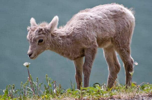 Bighorn sheep (such as this lamb) have declined dramatically since European-American settlement of the Rocky Mountains. Credit: Wikipedia