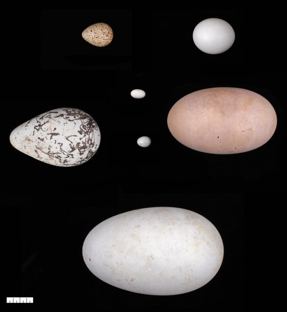 Eggs of different shapes and sizes. The best predictor of an egg's shape is the bird's flight ability, a new study suggests. Credit: Harvard Museum of Comparative Zoology.