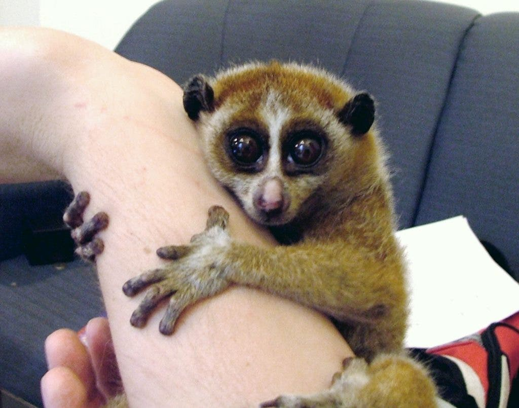Slow_Loris_Female
