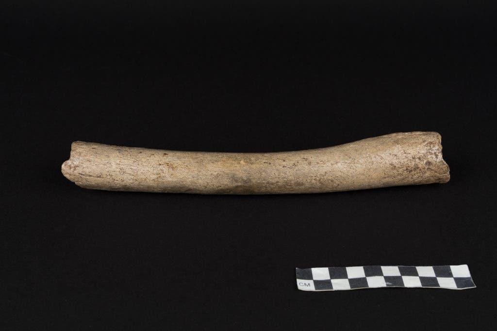 Hohlenstein-Stadel femur remains (HST), displaying archaic features. Credit: Oleg Kuchar © Photo Museum Ulm.