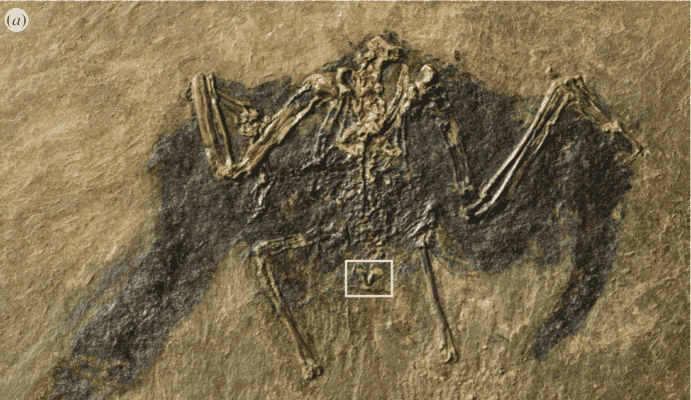 Fossilized bird.