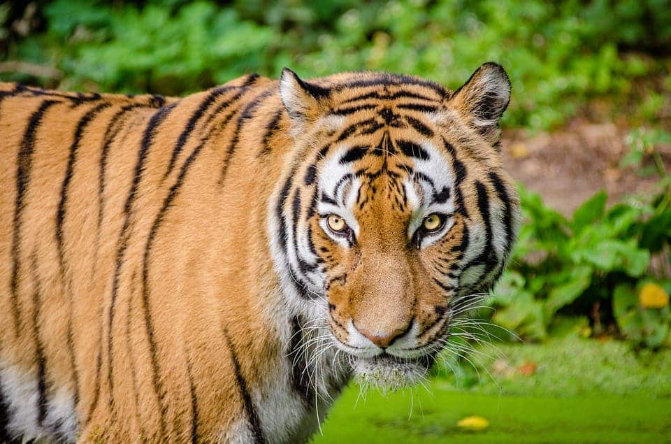 China lifts ban on tiger and rhino parts for