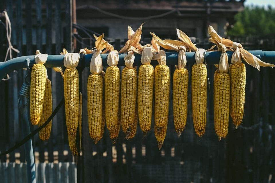 Maize.