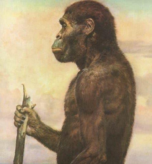 Australopithecus Africanus. Credit: Wikimedia Commons.
