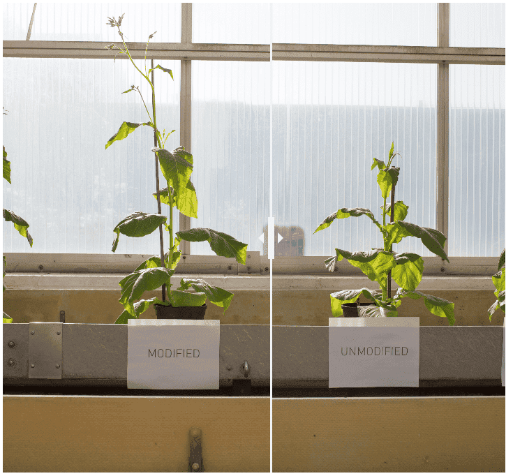 Left: Modified tobacco plant with 40% more biomass thanks to photorespiration shortuct. Right: much smaller unmodified tobacco plant. Credit: RIPE.