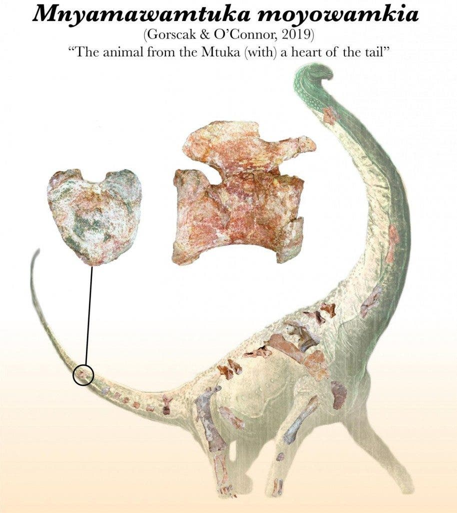 The new titanosaur had a heart-shaped tail bone. Credit: Mark Witton.