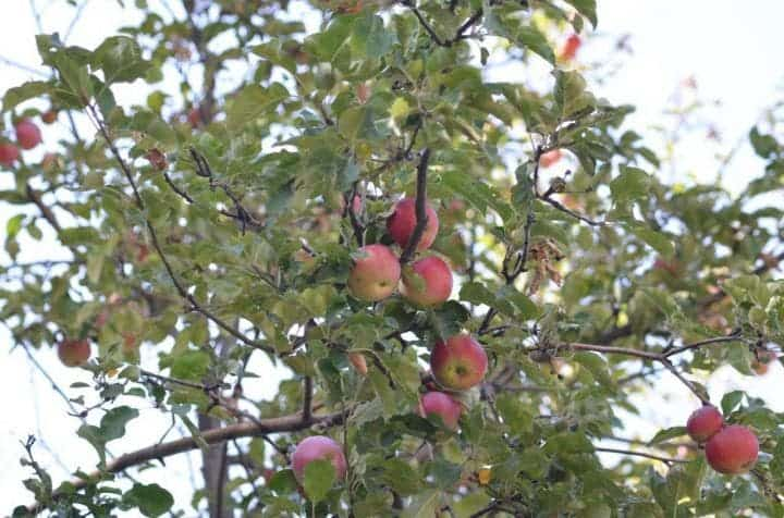 The wild apples in the Tien Shan Mountains represent the main ancestral population for our modern apple. Credit: Dr. Martin R. Stuchtey.